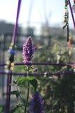Lavendelbloem Stock Afbeelding