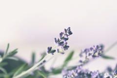 Lavendelbloem royalty-vrije stock foto