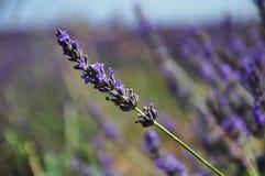 Lavendelbloem in close-up Stock Foto's