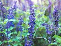 Lavendelbloem en bij Stock Afbeelding