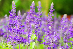 Lavendelbloem het bloeien stock foto