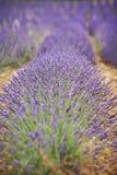 Lavendelbloem op een gebied royalty-vrije stock afbeeldingen