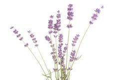 Lavendelbloemen Stock Afbeelding