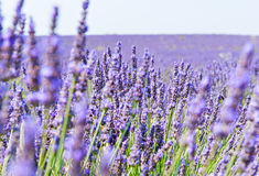 Lavendelbloemen Royalty-vrije Stock Foto