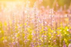 Lavendelbloemen Stock Fotografie