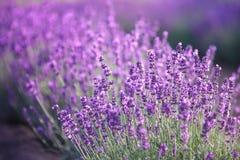 Lavendelbloemen Stock Foto