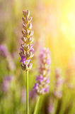 Lavendelbloemen royalty-vrije stock afbeelding