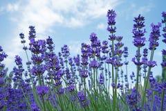 Lavendelbloemen in de zomer Royalty-vrije Stock Fotografie