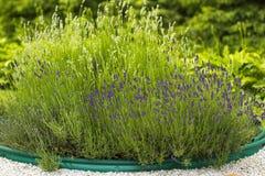 Lavendelbloemen in de zomertuin Stock Foto