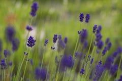 Lavendelbloemen in de zomertuin Stock Foto's