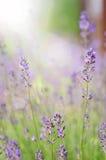 Lavendelbloemen in de zon Stock Foto