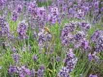 Lavendelbloemen die met bijen nectar verzamelen stock foto