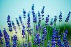 Lavendelbloemen die op gebied bloeien royalty-vrije stock afbeeldingen