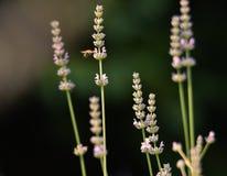 Lavendelbloemen met een bestuivende bij stock foto