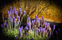 Lavendelbloemen met een bij Royalty-vrije Stock Afbeelding