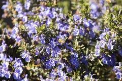 Lavendelbloemen met een bij stock foto
