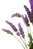 Lavendelbloemen op wit Stock Afbeelding