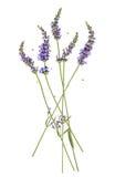 Lavendelbloemen op wit worden geïsoleerd dat royalty-vrije stock afbeelding
