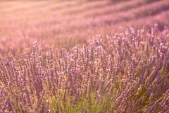 Lavendelbloemen op zonsondergang, close-up royalty-vrije stock afbeelding