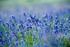 Lavendelbloemen - Zonsondergang over een gebied van de de zomer purper lavendel royalty-vrije stock fotografie