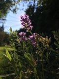Lavendelbloesem in tuin Stock Afbeelding