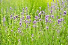 Lavendelbloesems in aard royalty-vrije stock afbeeldingen