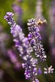 Lavendelblomma royaltyfria bilder