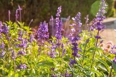 Lavendelblomma Royaltyfri Foto