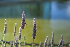 Lavendelblomma Arkivbild