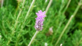 Lavendelblomma Royaltyfri Fotografi