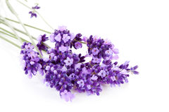 Lavendelblomma i closeup Arkivbilder