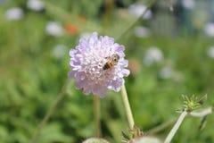 Lavendelblomma med biet Arkivbilder