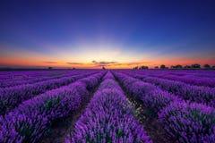 Lavendelblomma som blommar fält i ändlösa rader royaltyfri fotografi