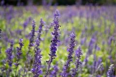 Lavendelblomma som blommar i en trädgård Arkivfoto