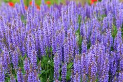 Lavendelblommafält Arkivfoto