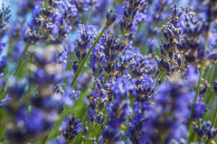 Lavendelblommafält Royaltyfri Foto