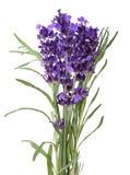Lavendelblommagrupp Royaltyfria Bilder