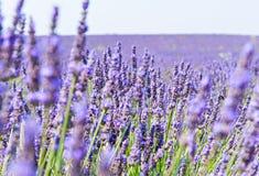 Lavendelblommor Royaltyfri Foto
