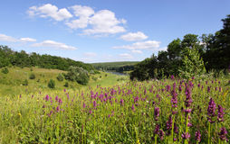 Lavendelblommor i fältet Royaltyfri Foto