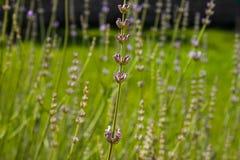 Lavendelblommor kryddar royaltyfri bild