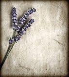 Lavendelblommor på grå bakgrund Royaltyfria Bilder