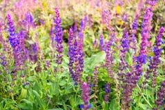 Lavendelblommor som blommar i ett fält under sommar Arkivbild