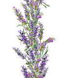 Lavendelblommor som upprepar ramen Tappningvattenfärggräns vektor illustrationer