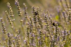 Lavendelblommor stänger sig upp Royaltyfri Foto