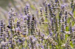 Lavendelblommor stänger sig upp Royaltyfri Bild