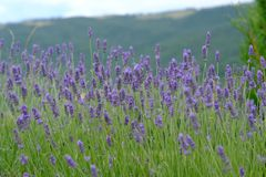 Lavendelblomningar i Tuscany Italien arkivbilder