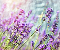 Lavendelblume Stockfotos