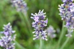 Lavendelblume Lizenzfreies Stockfoto