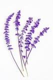 Lavendelblume auf weißem Hintergrund Lizenzfreie Stockfotografie