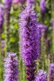 Lavendelblume in der Blüte stockfotografie